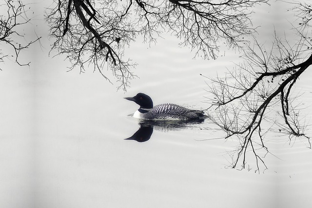 Free loon duck goose water bird feathered lake