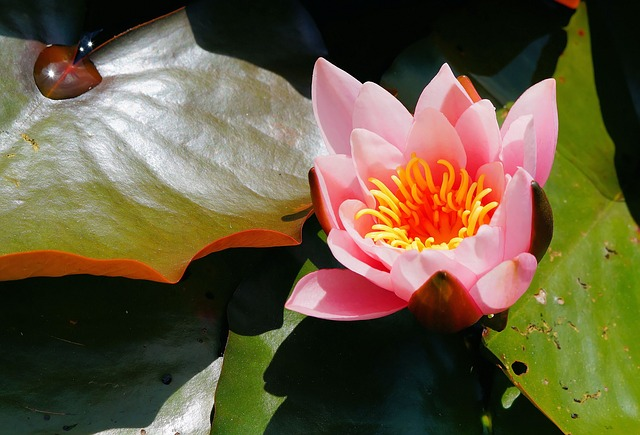 Free water lily flower aquatic plant pink tender leaves