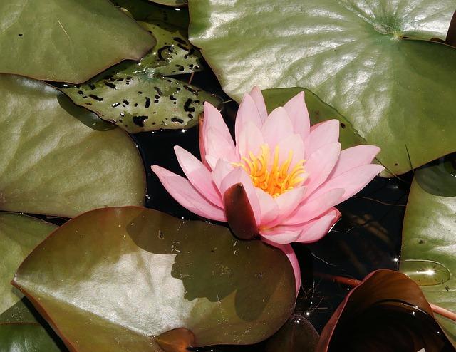 Free water lily flower aquatic plant pink tender leaves