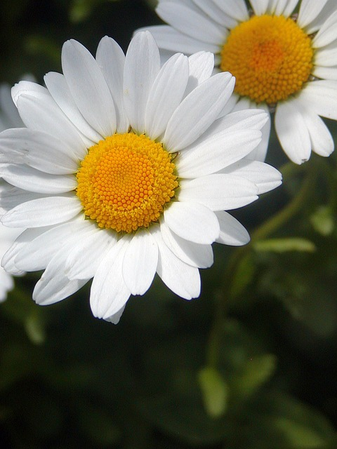 Free marguerite spring yellow white tickets detail