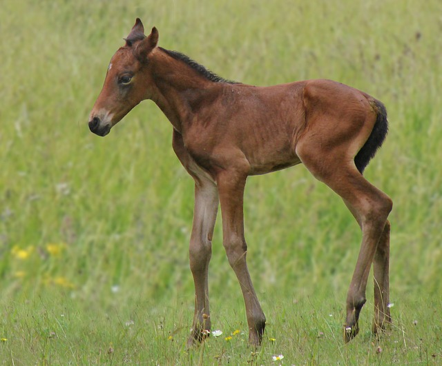 Free animals horse foal bai french saddle