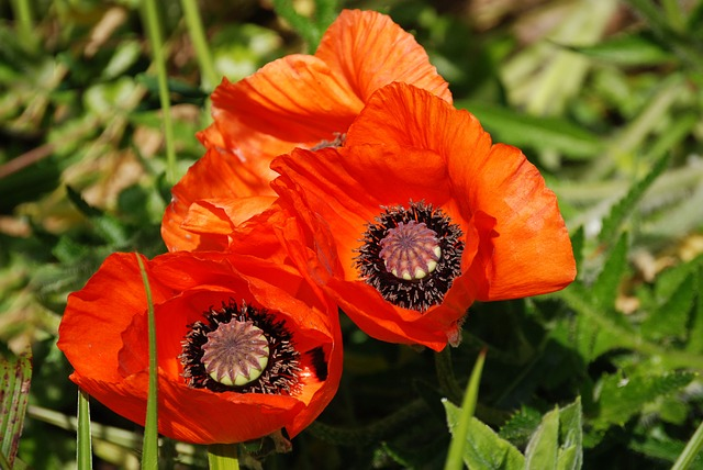 Free poppy red poppy papaver rhoeas nature field