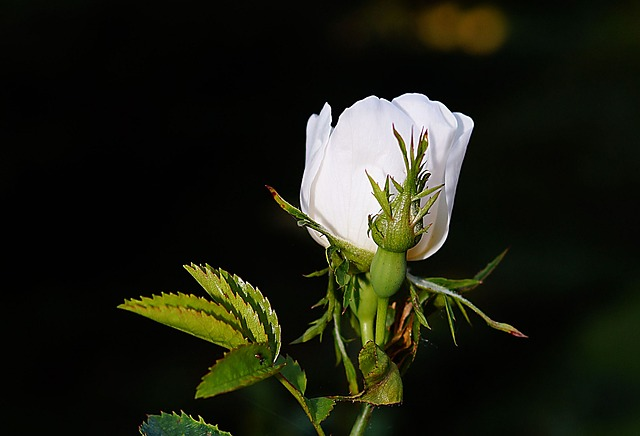 Free rose flower rose bloom white fragrance beauty