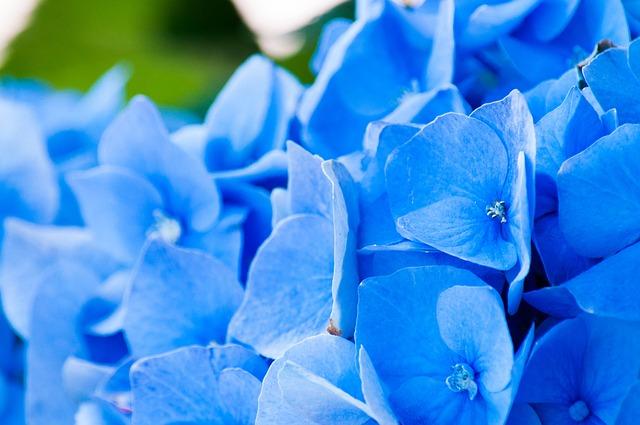 Free flowers hydrangea petals green plant flora beauty