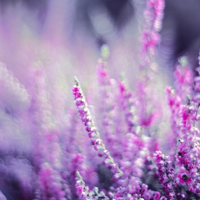 Free heather heathers violet flowers flourishing garden