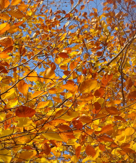 Free leaves tree sky autumn red orange yellow nature