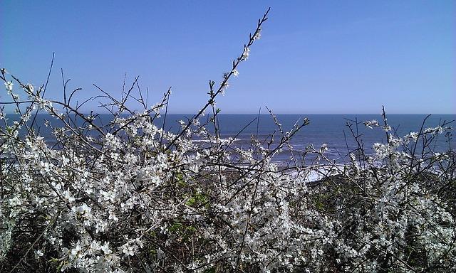 Free sea horizon blue hawthorn flower white flowers