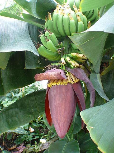 Free banana tree bananas shrub banana shrub fruit