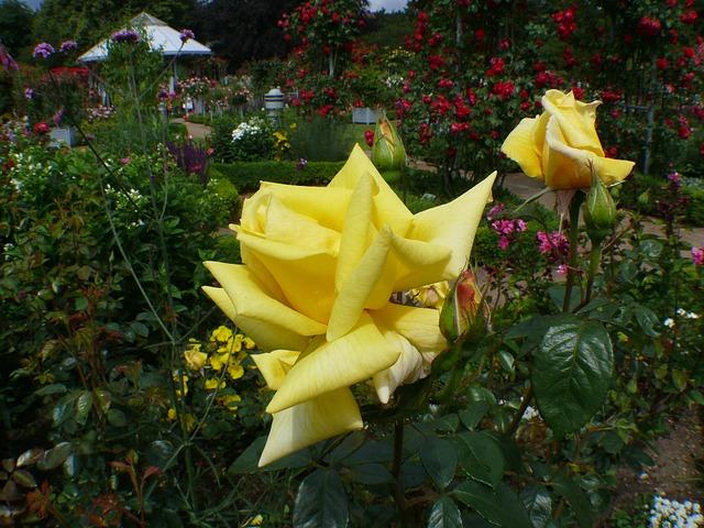 Free rose garden roses yellow flower rose bloom plant