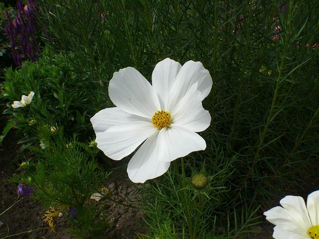 Free roses white flower rose bloom plant valentine