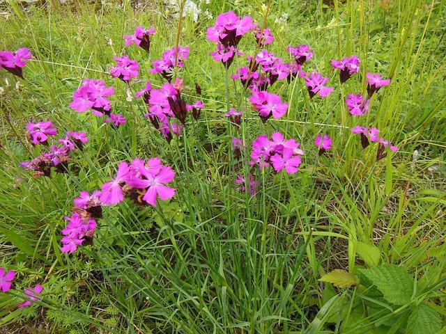 Free steinnelken flowers wildflowers nature meadow