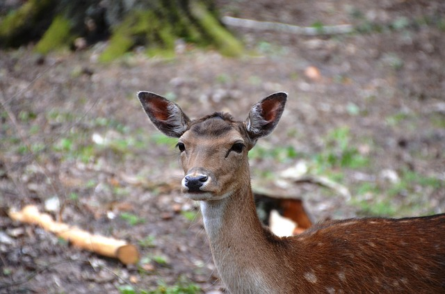 Free roe deer wild forest hirsch animal