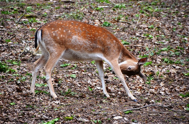Free roe deer forest animal