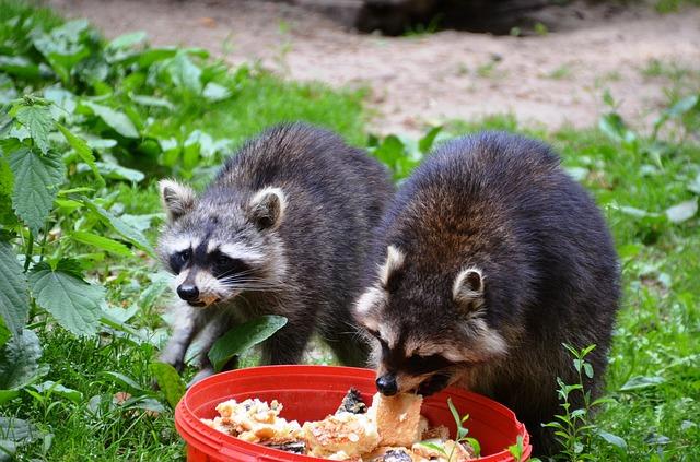 Free raccoon güstrow eco-park food