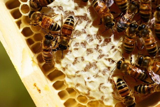 Free honeycombe bees honey honey bees honeycomb