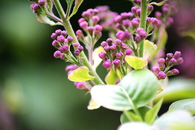 Free flowers lilac close syringa purple