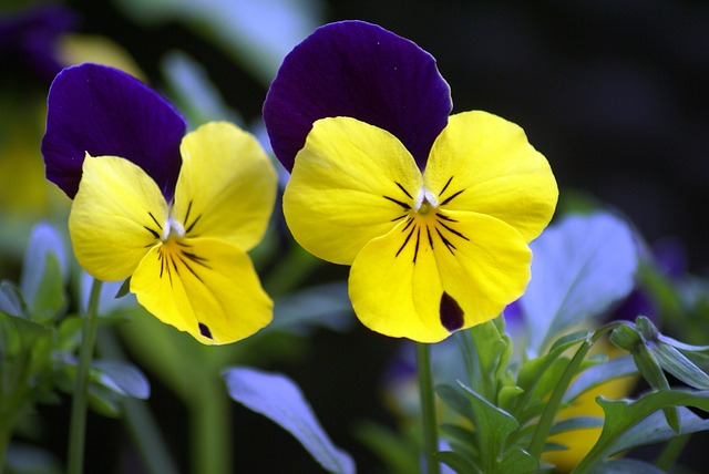 Free flowers pansy violet yellow