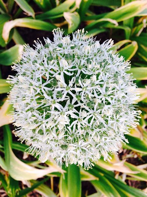 Free allium giganteum white flower ornamental onion
