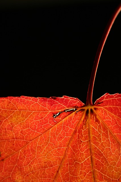 Free                autumn red journal nature close veins leaves