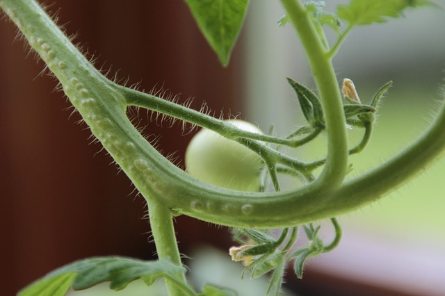 Free tomato tomatoes plant winter garden red food