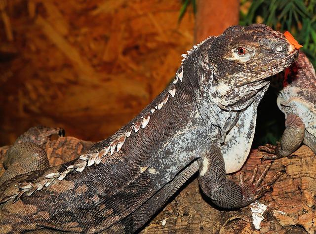 Free lizard iguana reptile scale terrarium urtier dry