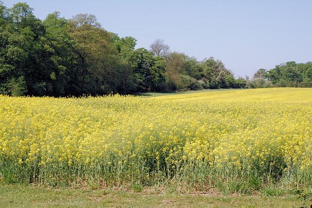 Free rape field oilseed rape agricultural plant scenery