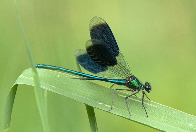 Free dragonfly shiny insect close wing-smooth journal