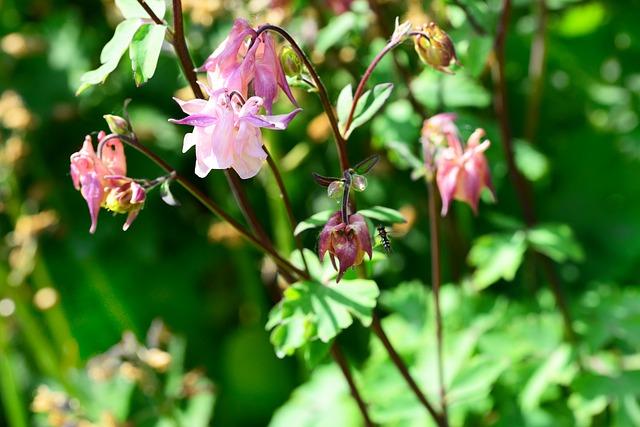 Free columbine aquilegia cottage garden delicate pink