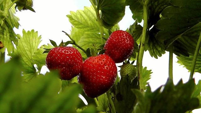 Free strawberries berries fruit fruits food red