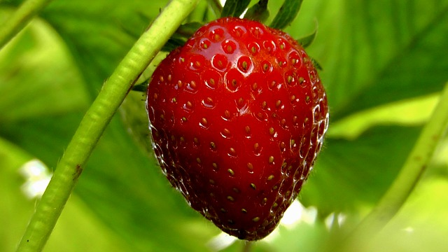 Free strawberries berries fruit fruits food red