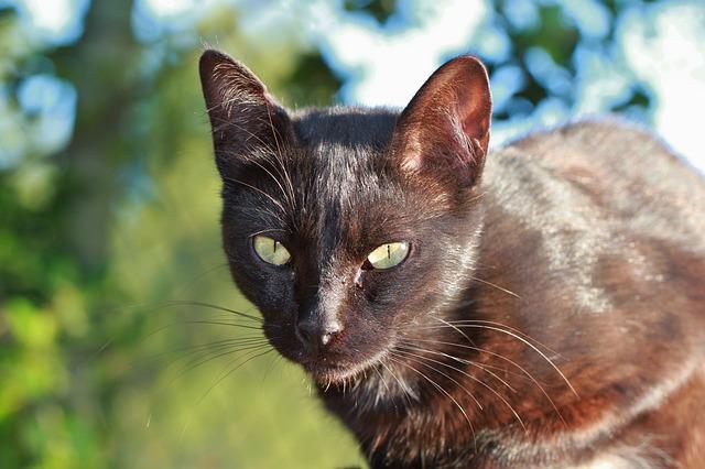 Free cat pet black cat cat face head animal portrait