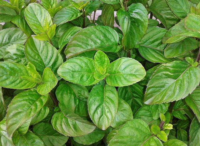 Free basil herbs herb garden plant food spice green