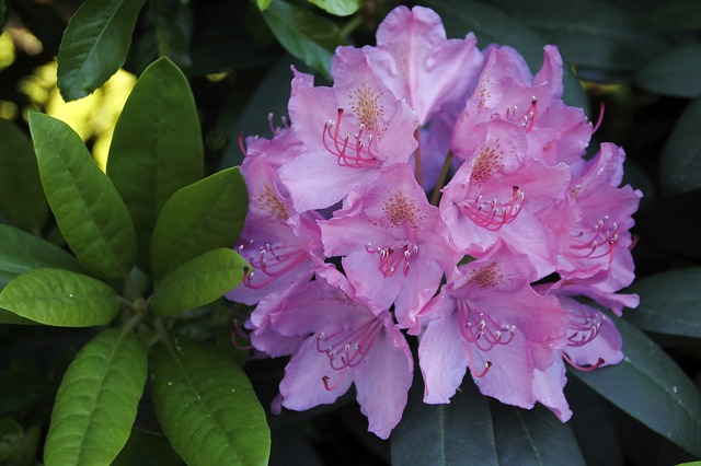 Free rhododendron flower purple tender large plant