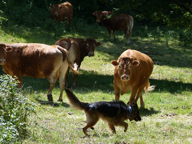 Free animals cows german shepherd meeting co excistance