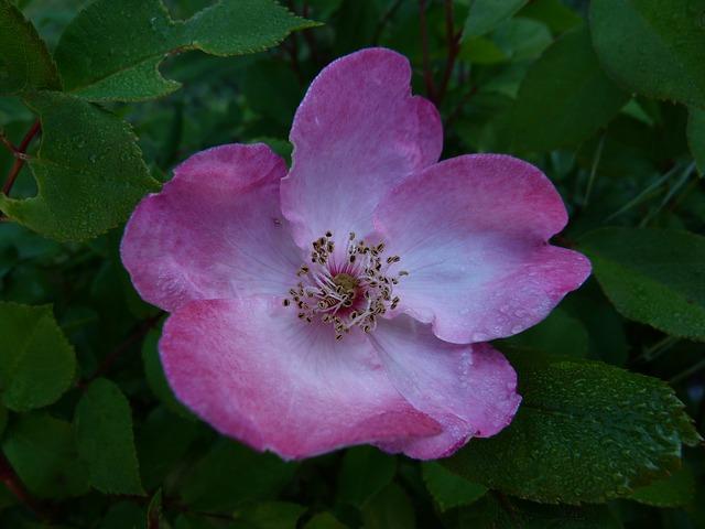 Free flowers pink macro bicolor pink flower petals