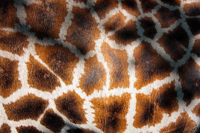 Free giraffe's coat giraffe manto fur mantle animal