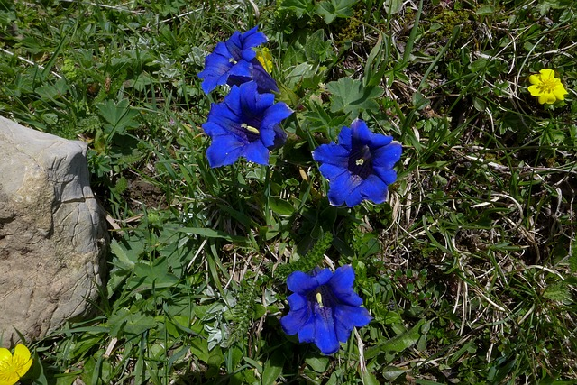 Free gentian high mountains blue yellow flowers close
