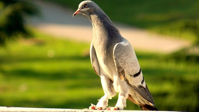 Free pigeon birds beautiful nature after the sunset glow