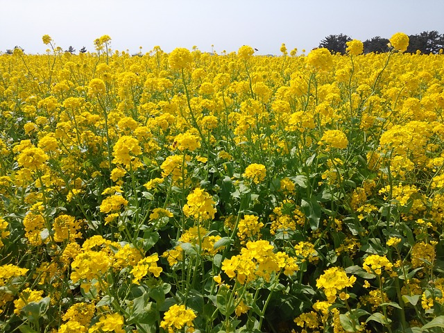 Free rape flowers yellow flower jeju island