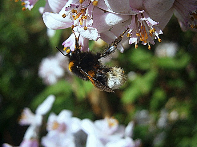 Free hummel bumblebees bombus drones people