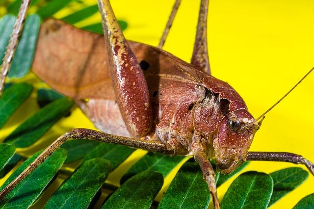 Free grasshopper viridissima insect scare chitin close