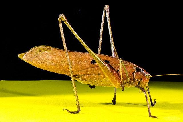 Free Photos: Grasshopper viridissima insect scare chitin close | Josch13