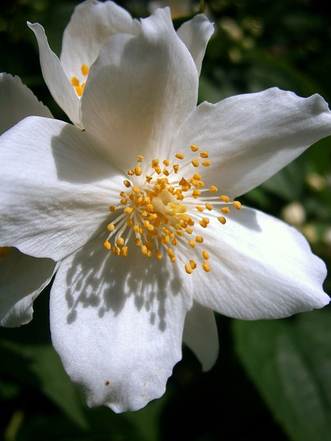 Free summer jasmine bauer jasmin mock orange jasmin