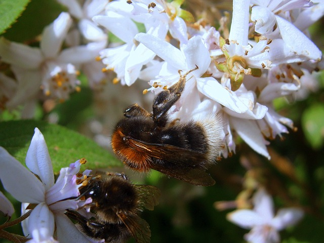 Free hummel bumblebees bombus drones people
