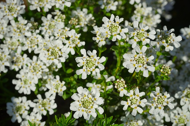 Free Photos: Evergreen candytuft flowers white | Hans Braxmeier