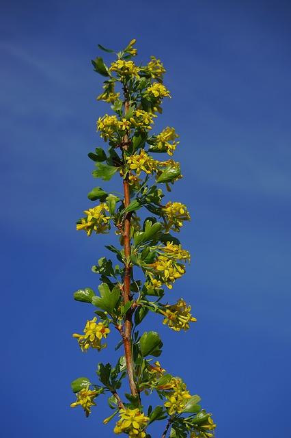 Free ribes aureum flowers yellow bush branch shrub