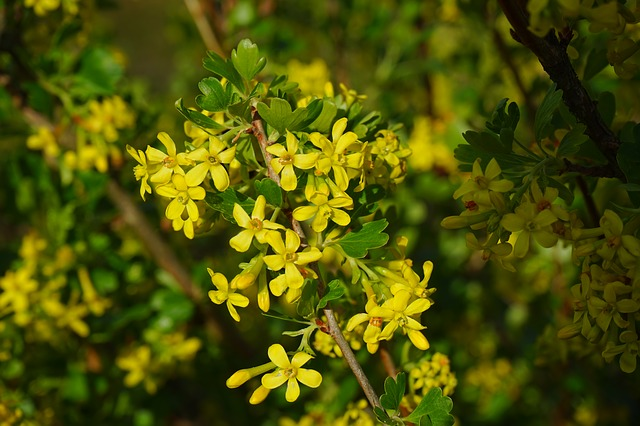 Free ribes aureum flowers yellow bush branch shrub