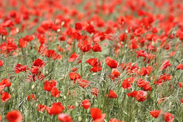 Free               poppy red poppy flower nature field mohngewaechs