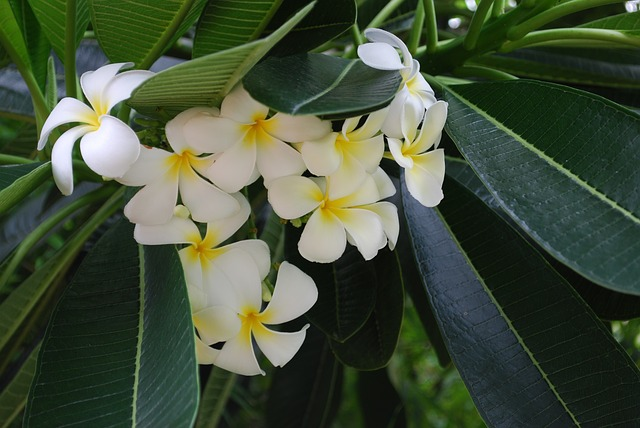 Free flowers tropical plants closeup white white flowers