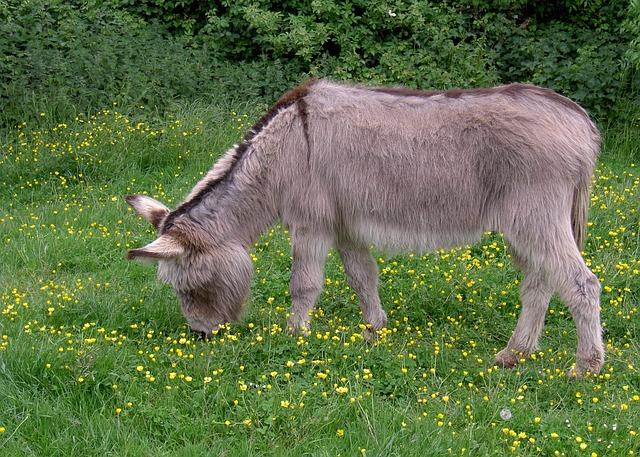 Free donkey ass equus africanus somaliensis meadow